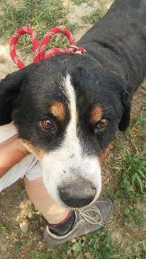 Zsazsa, Berner-Sennenhund-Mischlingshündin, geb. ca. Februar 2009 22934049bb