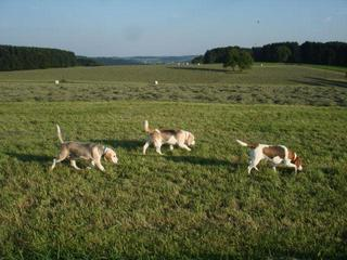 Hetty, Beagle-Basset-Mischlingshündin, ca. 7 Jahre 23068129xc