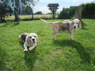 Hetty, Beagle-Basset-Mischlingshündin, ca. 7 Jahre 23068130fw