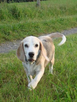 Hetty, Beagle-Basset-Mischlingshündin, ca. 7 Jahre 23068134vo