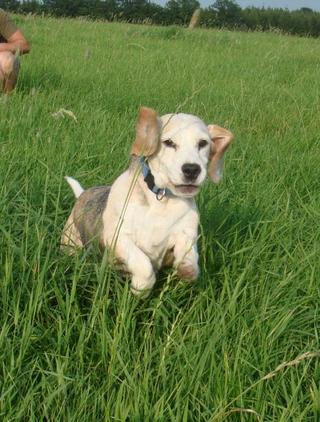 Hetty, Beagle-Basset-Mischlingshündin, ca. 7 Jahre 23068135oo