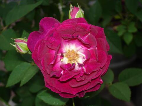 meine 1 rose was passt hier kletter ramblerrose mein sch ner garten forum. Black Bedroom Furniture Sets. Home Design Ideas