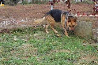 Yuli, Schäferhündin, geb. ca. März 2011 23407356ys