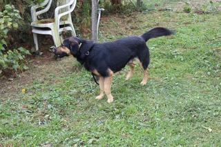 Cesar, Schäferhundmischlingsrüde, ca. 1 Jahr 23407372ku