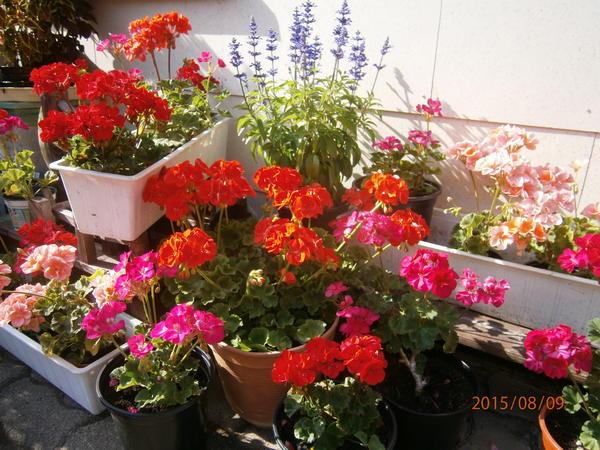 geranien pelargonien teil 2 beliebte pflanzen. Black Bedroom Furniture Sets. Home Design Ideas