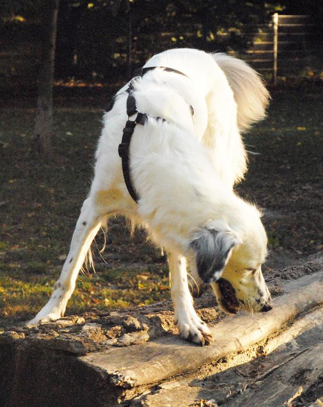 Bildertagebuch - Sissi, die Maus ist eine echte Schönheit und der perfekte Familienhund ... -- VERMITTELT -- 23556889ch