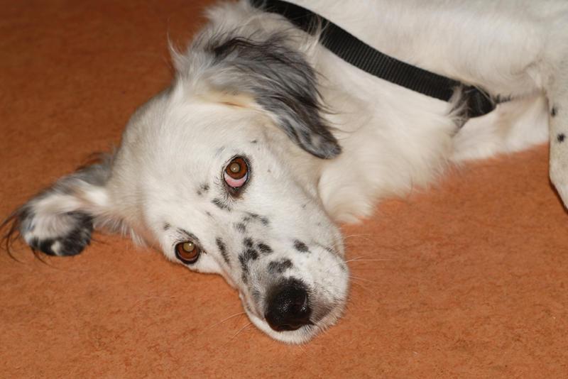 Bildertagebuch - Sissi, die Maus ist eine echte Schönheit und der perfekte Familienhund ... -- VERMITTELT -- 23556913ix