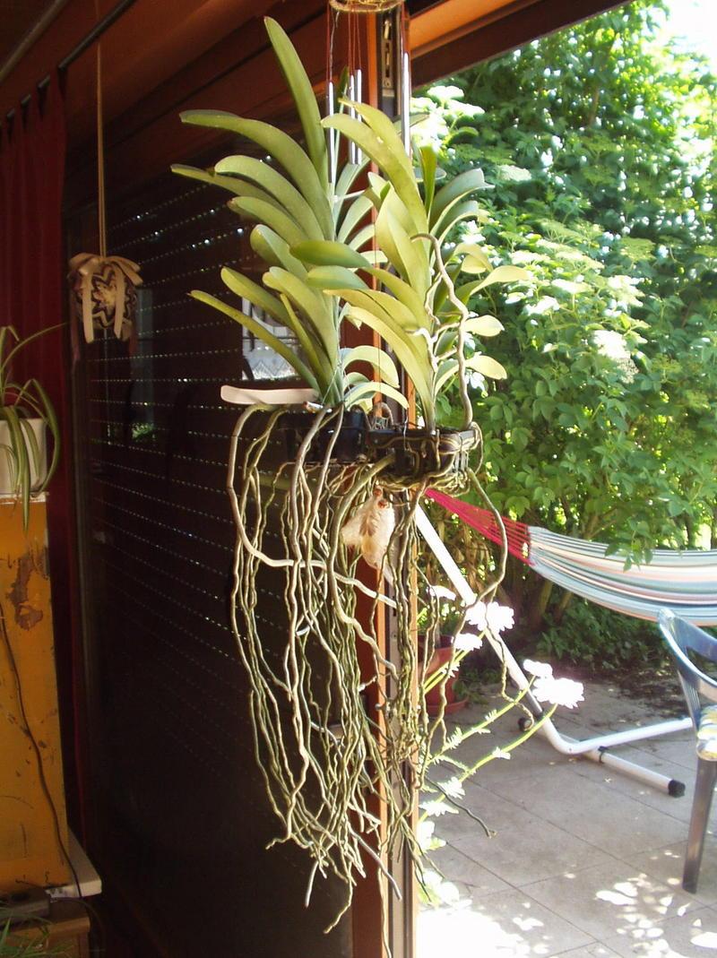 neue vanda mit selsamen wurzelwuchs orchideenforum. Black Bedroom Furniture Sets. Home Design Ideas
