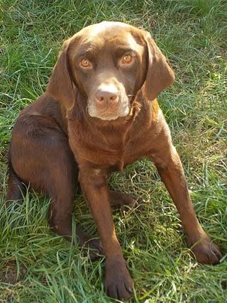 Bruty, Labradormischlingsrüde, geb. ca. Oktober 2007 23624071iv