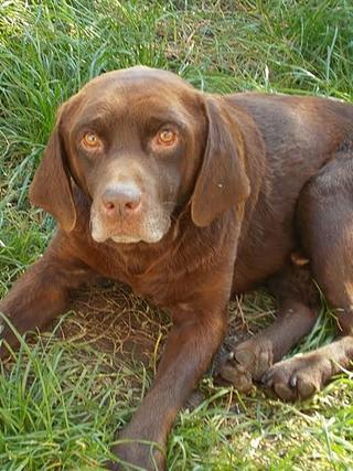 Bruty, Labradormischlingsrüde, geb. ca. Oktober 2007 23624076ms
