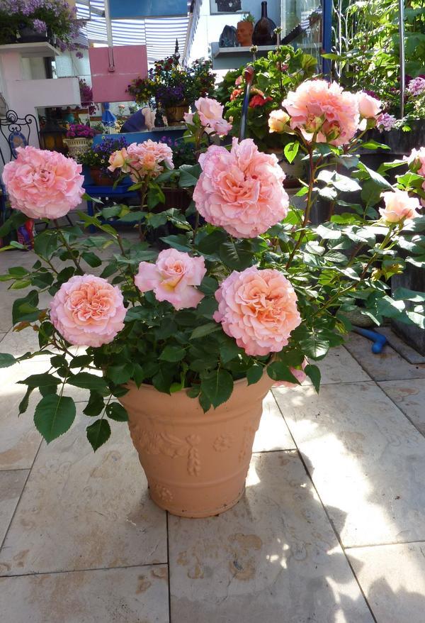wurzelnackte rosen in topf pflanzen seite 2 rund um. Black Bedroom Furniture Sets. Home Design Ideas