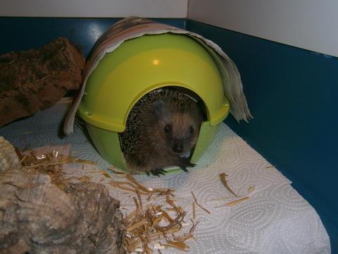 noch ne unerfahrene igelmama kleinen igel gefunden was tun igel igelhilfe wir helfen igeln. Black Bedroom Furniture Sets. Home Design Ideas