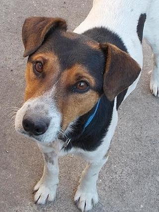 Toby, Foxterriermischlingsrüde, geb. ca. September 2013 23705288un