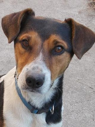 Toby, Foxterriermischlingsrüde, geb. ca. September 2013 23705314mc