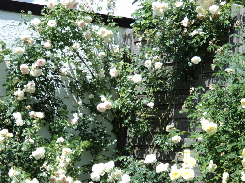 kordes rose schøne maid