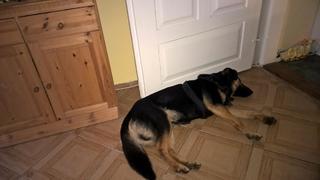 Cesar, Schäferhundmischlingsrüde, ca. 1 Jahr 23808536vr