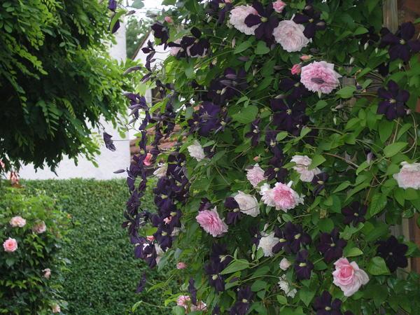 Klettergerüste Für Rosen : Vorstellung klettergerüste und rosenbogen mein schöner garten forum