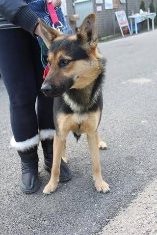 Athos, Schäferhundmischlingsrüde, geb. ca. Januar 2015 24218596ey