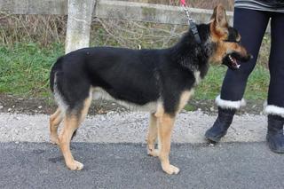 Athos, Schäferhundmischlingsrüde, geb. ca. Januar 2015 24218599yn