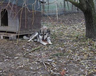 Tappancs, Mischlinsgrüde, geb. ca. April 2012 24317510kl