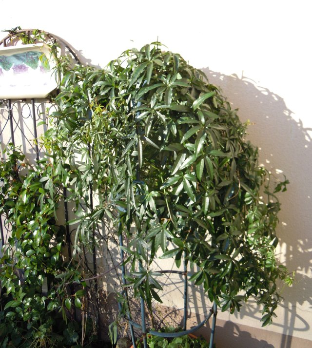 passiflora caerulea passionsblume. Black Bedroom Furniture Sets. Home Design Ideas