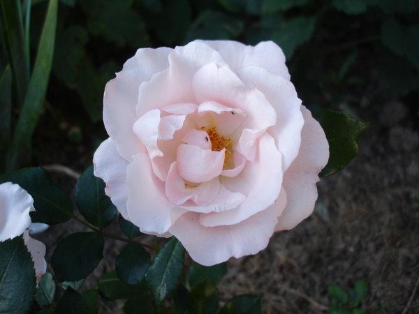 historische rosen 2016 seite 20 rund um die rose. Black Bedroom Furniture Sets. Home Design Ideas