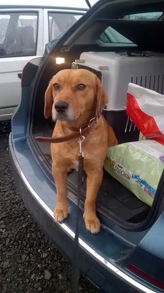 Zoe, Beaglemischlingshündin, geb. ca. Juni 2012 24580651vk