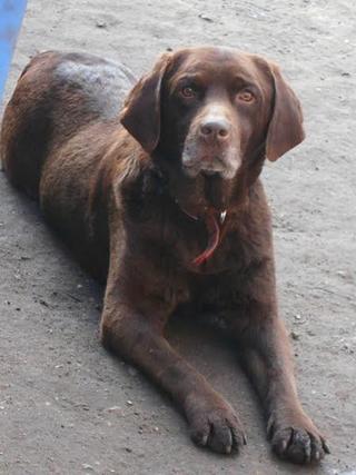 Bruty, Labradormischlingsrüde, geb. ca. Oktober 2007 24633950nn