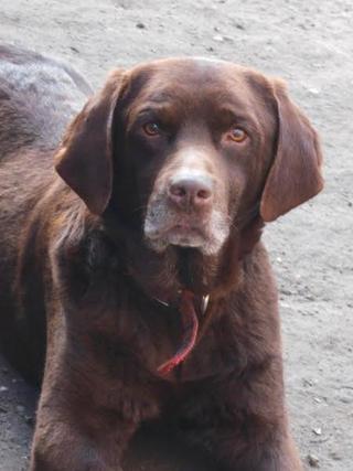 Bruty, Labradormischlingsrüde, geb. ca. Oktober 2007 24633951id