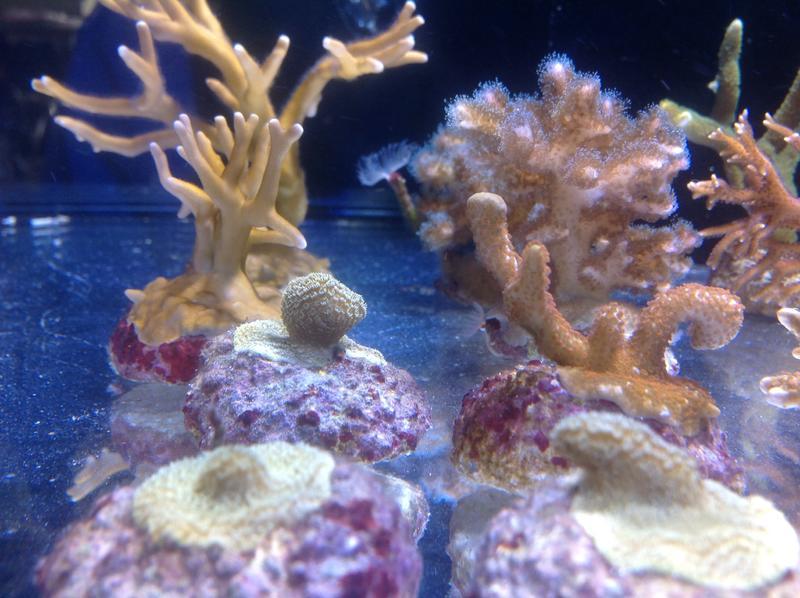 andre s kleines korallenriff aquarium seite 3 100 bis 500 liter dein meerwasser forum. Black Bedroom Furniture Sets. Home Design Ideas