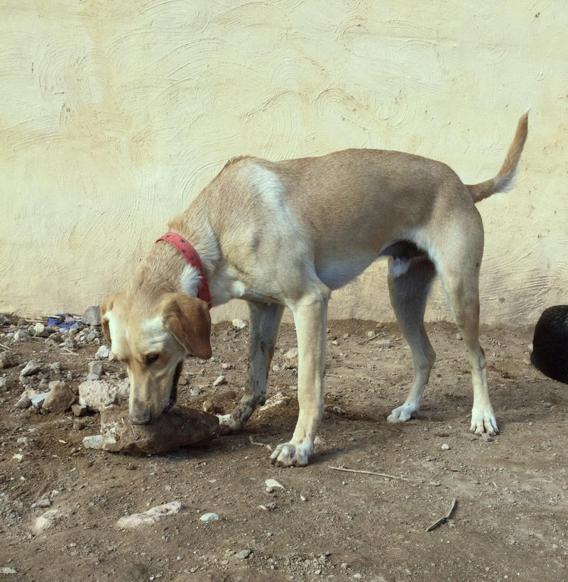 Bildertagebuch - BUSTER, ein Traumhund wurde streunend aufgefunden....... 24994119vf