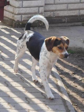 Felix, Beaglemischlingsrüde, geb. ca. Mai 2015 25009482ta