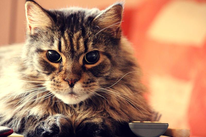 Du oder deine Haustiere als WaCa Katze! (Hilft bei langeweile!) 25057947yz