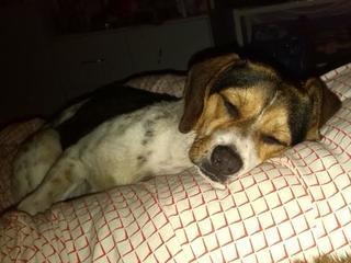 Felix, Beaglemischlingsrüde, geb. ca. Mai 2015 25066112sk