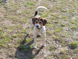 Felix, Beaglemischlingsrüde, geb. ca. Mai 2015 25066113tj