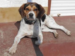 Felix, Beaglemischlingsrüde, geb. ca. Mai 2015 25066116rh