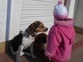 Felix, Beaglemischlingsrüde, geb. ca. Mai 2015 25066117ih