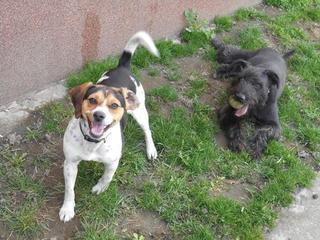 Felix, Beaglemischlingsrüde, geb. ca. Mai 2015 25066118bl