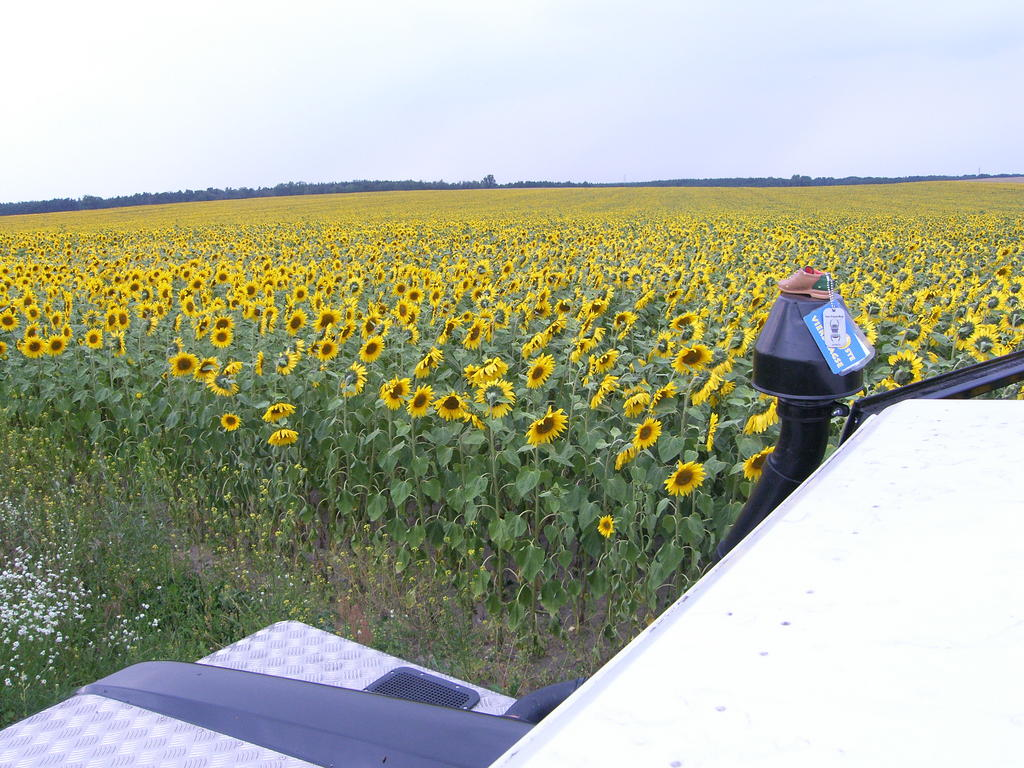 sonnenblumenmeer