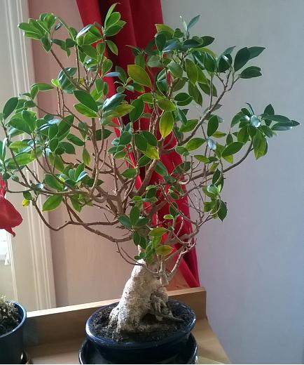 Ficus 40 Jahre alt - www.bonsai-fachforum.de