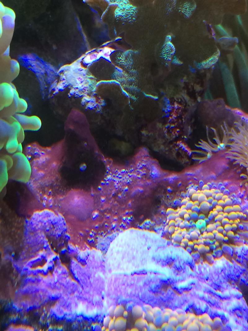 cyanos oder dinoflagellaten hilft dein meerwasser forum f r nanoriffe. Black Bedroom Furniture Sets. Home Design Ideas