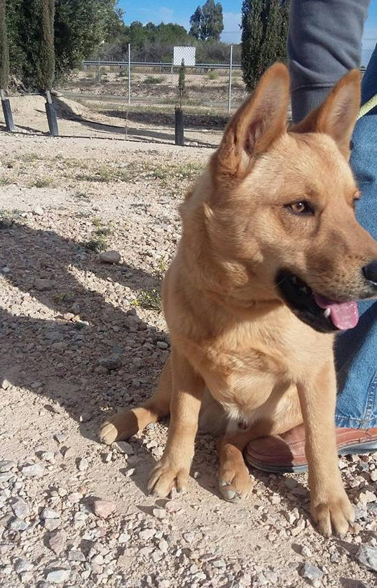 Bildertagebuch - Dingo, hübscher junger und verspielter Kerl ... Sie sind auf der Suche nach einem tollen Hundekumpel?? 25281777oy
