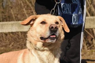 Gino, Labradormischlingsrüde, geb. ca. November 2012 25308959dq