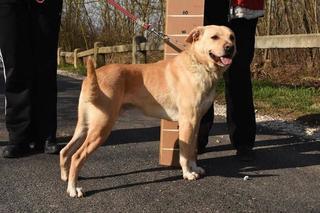 Gino, Labradormischlingsrüde, geb. ca. November 2012 25308960tk