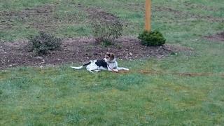 Felix, Beaglemischlingsrüde, geb. ca. Mai 2015 25362776jp