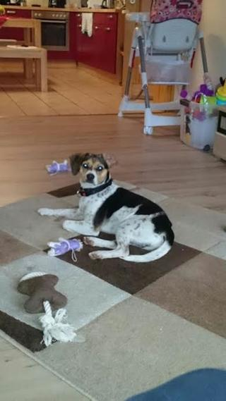 Felix, Beaglemischlingsrüde, geb. ca. Mai 2015 25362777kx