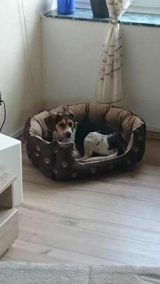 Felix, Beaglemischlingsrüde, geb. ca. Mai 2015 25362778fj