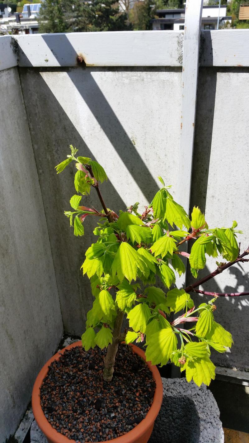 japanischer ahorn wurzeltiefe