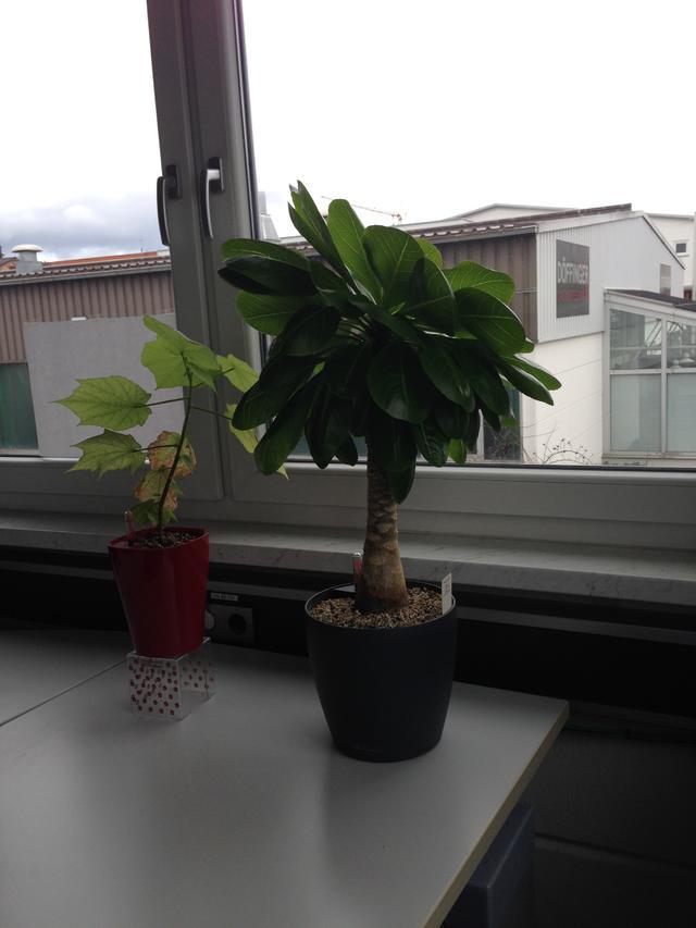 Zimmerlinde braune flecken pflanzenkrankheiten sch dlinge green24 hilfe pflege bilder - Zimmerlinde bilder ...