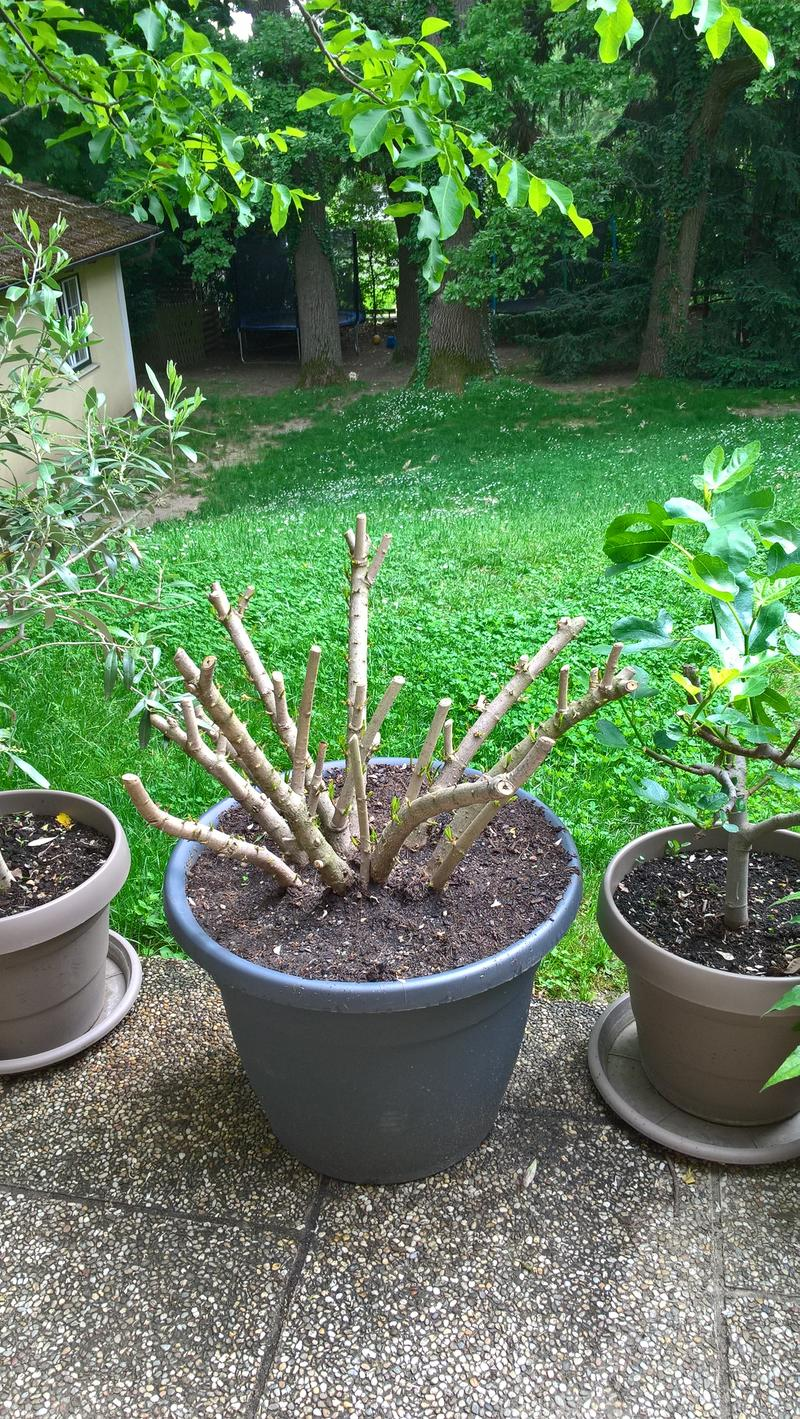 oleander erfroren vertrocknet oder krank mein sch ner garten forum. Black Bedroom Furniture Sets. Home Design Ideas